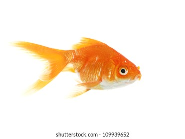Gold fish. Isolation on the white background