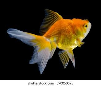 gold fish on black background