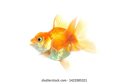 Gold fish on white background,