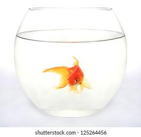 Gold fish in round aquarium against white background