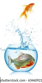 gold fish runs away from piranha isolated