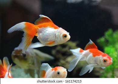 Gold Fish in the tank