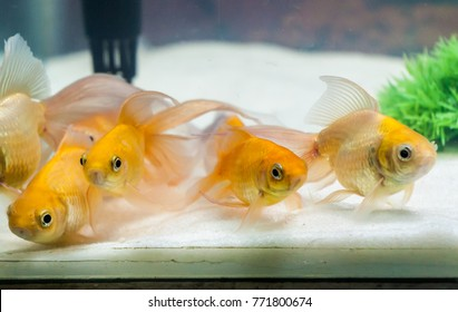 Gold fishes in fresh water aquarium tank with white sand and green plant