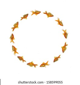 gold fishes swimming in circle
