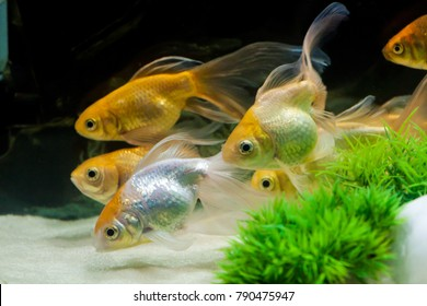 Gold fishes  swimming in one direction in fresh water aquarium tank with white sand
