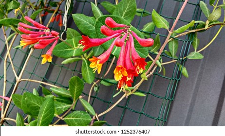 Gold Flame Honeysuckle clusters bloom amid the vine. Trumpet Honeysuckle has a reddish-pink exterior and a golden yellow color in the interior of the flower. Beautiful vine against a grey fence.