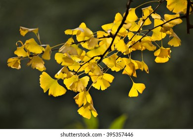 the gold Ginkgo leaves in sunshine of autumn.