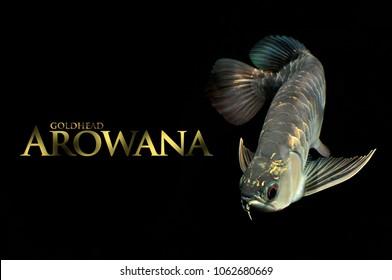 gold head arowana fish