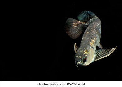 gold head arowana fish in action
