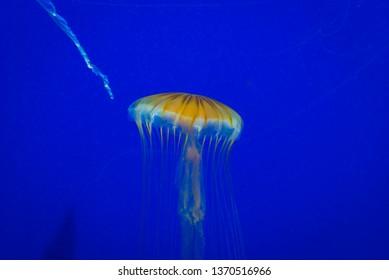 Gold jellyfish glowing