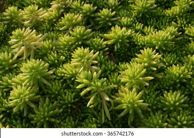 Gold Moss Sedum leaf in closeup under the light