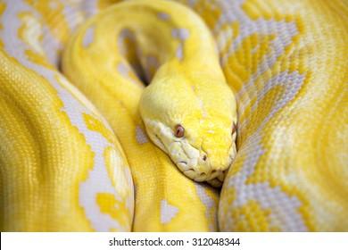 Gold Python,Reticulated python (Python reticulatus)