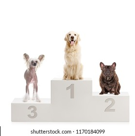 A gold retriever, chinese crested dog and a bulldog on a winner's podium isolated on white background