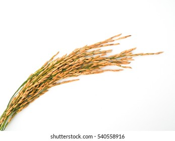 gold rice seed on white background.