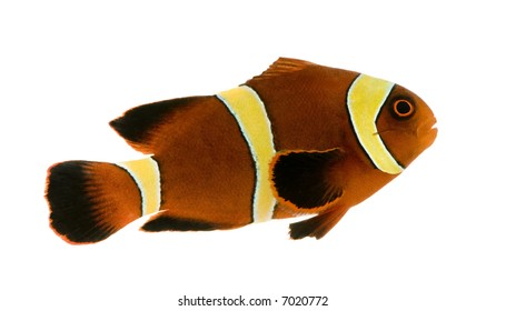 Gold stripe Maroon Clownfish - Premnas biaculeatus in front of a white background