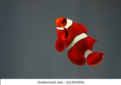 Gold Striped Maroon Clownfish (Premnas biaculeatus)