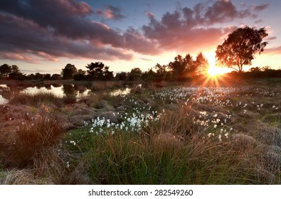 gold sunset over lake with cottongrass, North Brabant, Netherlands