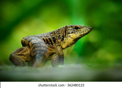 Gold tegu, Tupinambis teguixin, big reptile in the nature habitat, green exotic tropical animal in the green forest on Trinidad and Tobago.