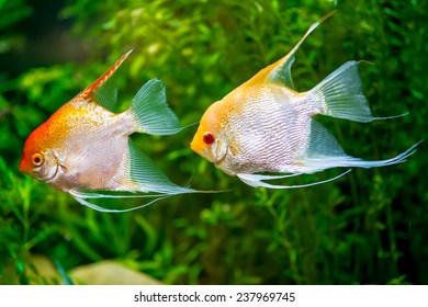 Gold Veil Angelfish,Two Angelfish in a tropical fish tank