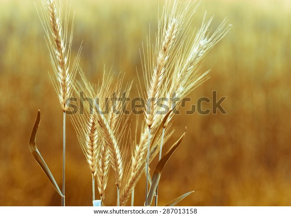 Gold Wheat Ears On Field Closeup Stock Photo Edit Now