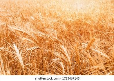 Gold Wheat Field. Beautiful Nature Sunset Landscape. Background of ripening ears of meadow wheat field.