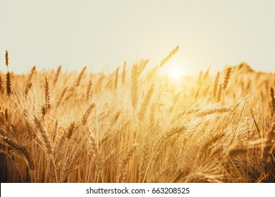 Gold Wheat Field. Beautiful Nature Sunset Landscape. Background of ripening ears of meadow wheat field
