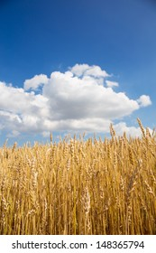 Gold wheat field and blue sky. Background image.