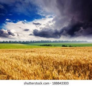 Gold wheat field and blue sky. Overcast sky. Ukraine, Europe. Beauty world.