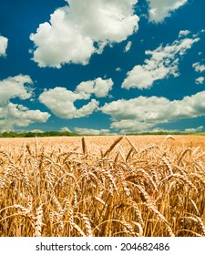 Gold wheat field and blue sky - Shutterstock ID 204682486