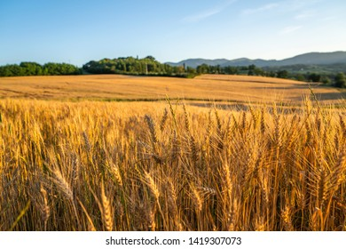 Gold wheat flied panorama with tree at sunset, rural countryside. Ears of wheat close up. Beautiful nature sunset landscape. Golden autumn in Tuscany. Italy. Europa.