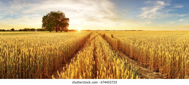 Gold Wheat flied panorama with tree at sunset, rural countryside