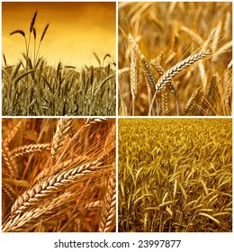 Gold wheat harvest collection background 01