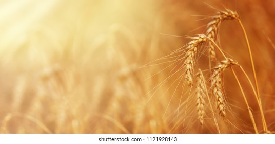 Gold Wheat on the Beautiful Field  on a Sunny Summer Day