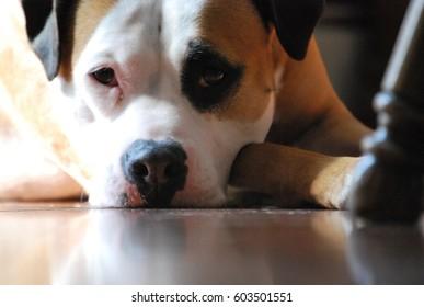 Gold white and black dog