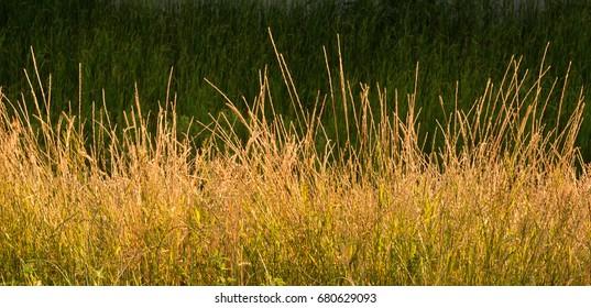 Gold Wild Grass Background