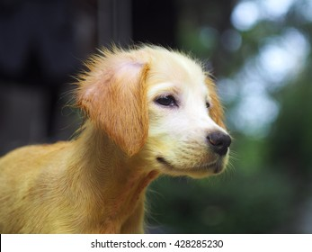 gold yellow color little cute long hair puppy dog with scabies skin treated with home formula medicine care treatment using sulfer and turmeric powder and coconut oil head shot portraits view outdoor