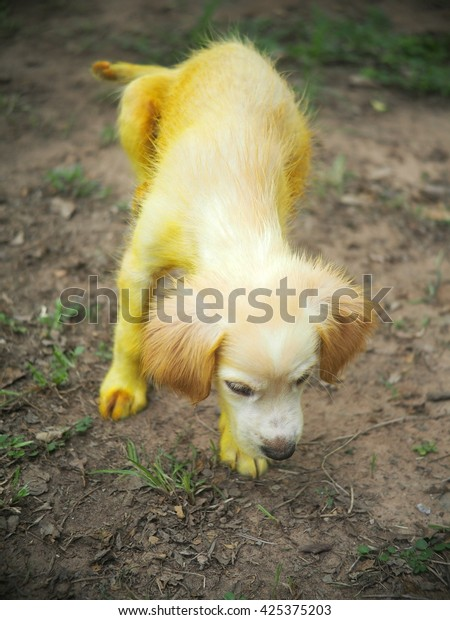 Gold Yellow Color Little Cute Long Stock Photo (Edit Now) 425375203