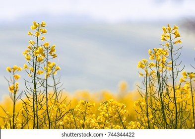 Gold, yellow rape seed field with blurred background. Agricultural and ecological photo with copy space.
