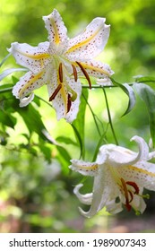 Gold-banded Lily (Lilium auratum) in Japan