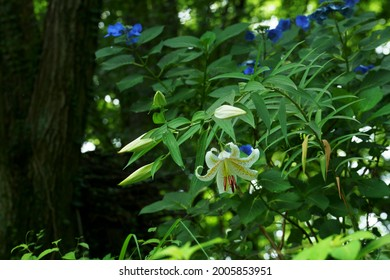 Gold-banded lily  (Lilium auratum) in japanese summer