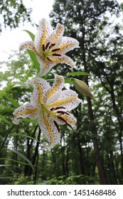 Gold-banded lily of the rainy day