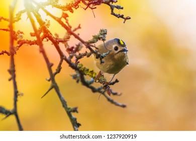 Goldcrest bird (Regulus regulus) foraging through branches of trees and bush. autumn colors