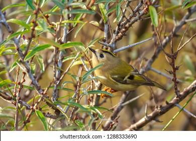 Goldcrest bird (Regulus regulus) foraging through branches of trees and bush