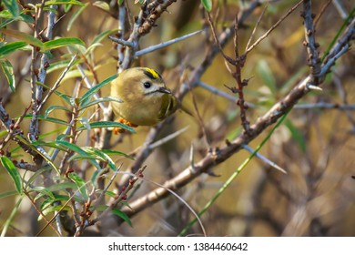 Goldcrest bird (Regulus regulus) foraging through branches of trees and bush