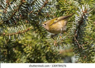 A goldcrest on a branch is searching for fodder