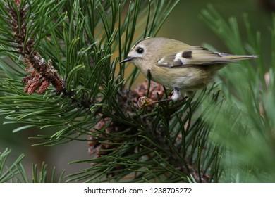 Goldcrest on the pine tree, summer