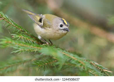 Goldcrest on the tree