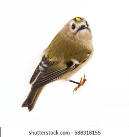 A goldcrest on white background, isolated