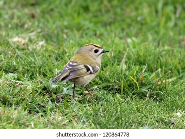 Goldcrest, regulus regulus. Autumn landfall of tiny birds on the Yorkshire coast.