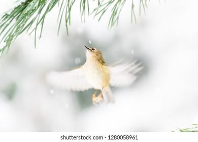 Goldcrest (Regulus regulus) in flight. Motion blur of wings. Framed by pine needles in snow. Wales, UK. December